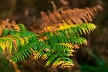 The Little Autumn, The Fern Slowly Loses Its Green Color, Autumn Beginning
