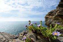 A Sea Aster And Beautiful Sea Shore Rocks At Jeju Island Of Korea