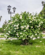Blooming Bush Plants Buldenezh In Spring In The Park