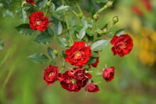 Beautiful Red Rose With Yellow Middle, Red Roses On Green And Yellow Garden Background.