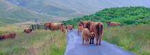 Higland Cattle Rule The Road In Glen Lyon, Scotland