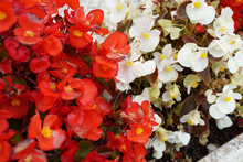 Closeup Of The Blossomed White And Red Begonia Flowers In The Garden