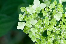 Hydrangea In Bloom, Green Flowers