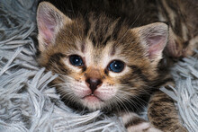 Cute Little Gray Kitten Lies On A Gray Fur Blanket.
