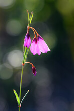 Delicate Back Lit Drooping Flowers Of The Native Australian Black Eyed Susan, Tetratheca Shiressii, Family Elaeocarpaceae, Growing In Heath In Sydney. Also Called Scrambling Pink Bell. Endemic To NSW