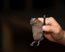 Bat Research Is Very Important. This Bat Was Trapped With A Net In Order To Make A Census Of Bat Species In The Rainforest.