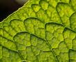 prześwietlony liść w dużym zbliżeniu.Widoczne pojedyncze komórki rośliny
