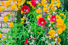 Red Hollyhock Flowers Against A Background Of Yellow Zinnia Flowers In A Garden