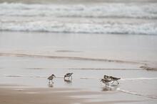Tiny Shorebirds Dart Along The Edge Of The Waves On A Beach