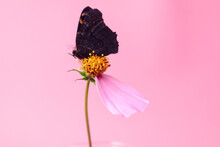 Dark Butterfly On A Pink Flower With One Petal On A Pink Background, Side View, Place For Text, Close-up