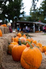 A Row Of Fall Orange Pumpkins Sitting On The Ground At A Fall Festival At A Local Pumpkin Patch