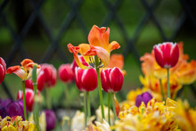 A Flower Garden Bed Of Vibrant Yellow Tulips With Red Stripes. There's A Bud In The Foreground That Hasn't Bloomed. The Flower In The Center Is In Full Bloom. The Ground Covering Is Tall Green Grass.