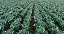 Field Of Organic Cabbage Background.