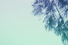 Pine Branch Covered With Snow On Blue Background. Copy Space