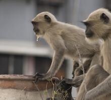 Two Monkey Drinking Water