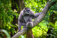 Portrait Of A Silvery Gibbon Sitting On A Branch
