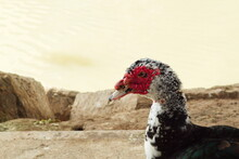Creole Duck Rests Peacefully On The River Bank