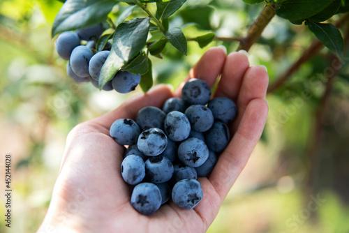 Owoce borówki na dłoni pod gałązką z owocami