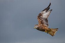 Red Kite In The Thuderstorm Sun Welsh Countryside