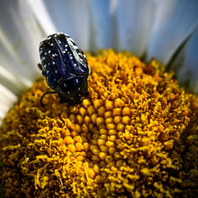 The Beetle Is A Garden Pest