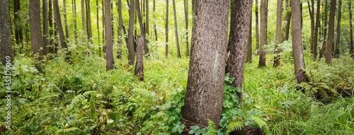 Fotografie, Obraz Swampy deciduous forest, moss, fern, plants close-up