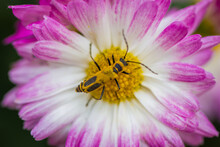 A Yellow Insect Crawling On The Center Of A Pink And Yellow Flower