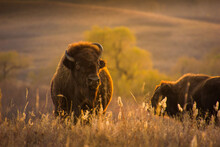 A Close Up Shot Of Bison Or Buffalo At Sunset