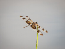 Adult Male Banded Pennant (Celithemis Fasciata) Dragonfly Perched On A Twig
