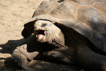 Turtle With His Mouth Open Walking On The Ground