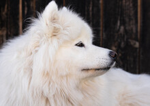Portrait Of A Samoyed Dog Close-up On The Background Of A Fence.