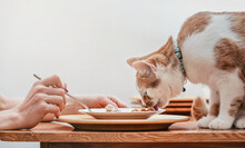 Small White And Brown Cat Eating From Plate On Table With Remains Of Chicken, Woman Hand With Fork Other Side