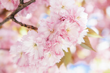 Lots Of Pale Pink Flowers Blossoming On A Sakura Tree