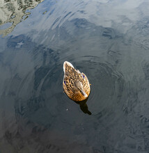 Viewed From Above A Single Female Mallard Swims On The Water