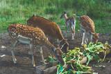 Fototapeta Zwierzęta - Daniele jelenie karmienie