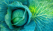 Big Green Cabbage On The Farm. Vegetarian Food Background.