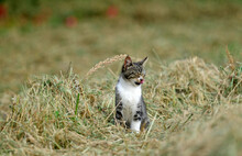 Cat On A Field // Hauskatze Auf Einem Feld (Felis Catus)