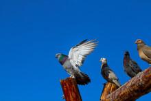 Pigeons On Blue Sky Background, Turkey