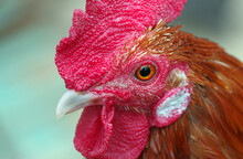 Rooster. Cock Head Close-up. Domestic Bird.