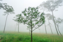 Landscape Pine Tree Forest In The Mist At Phu Soi Dao National Park Uttaradit Province Thailand