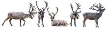 Five Dark Reindeers With Large Horns On White Background