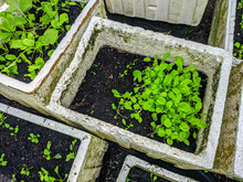 Green Vegetables Are Grown Using Compost Soil Planted In White Polystyrene Containers.