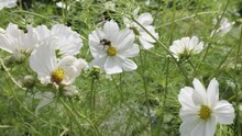 Slow Motion Shot Of A Bee Pollinating Flower Petals On A White Cosmos Flower With A Yellow Iris. Heavy Gust Of Wind Blows The Bee From The Flower.