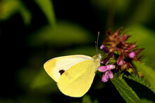 Cabbage Butterfly On A Flower