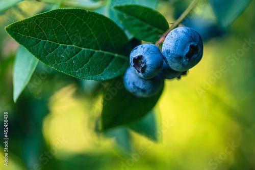 dojrzałe owoce borówki amerykańskiej na krzewie
