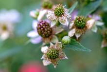 Natural Food. Blackberries In The Garden On A Branch With Green Leaves On The Farm. Close-up, Blurred Background. Flowers And Unripe Blackberries