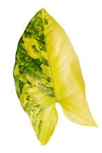 Leaf Syngonium Podophyllum Variegeted On White Background