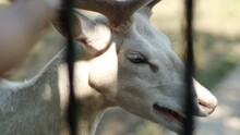 Close Up Of A Rare Albino White Deer Face Stands Behind Metal Bars At The Zoo