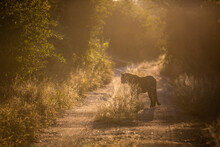 A Leopard, Panthera Pardus, Stands In A Two Track Dirt Road, Backlit, At Sunset
