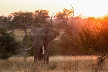 An Elephant, Loxodonta Africana, Walks Through A Grassy Clearing At Sunset