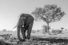 An Elephant Bull, Loxodonta Africana, Walks Across Drief Mud, In Black And White